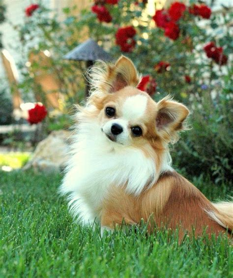 best 25 haired chihuahua puppies ideas on