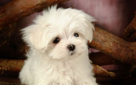 white puppys fluffy maltese puppy dogs white maltese puppies wallpapers 1280x800 no 11 desktop
