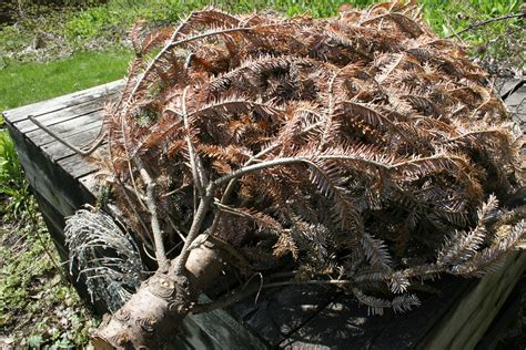 10 things to do with your dead christmas tree montana