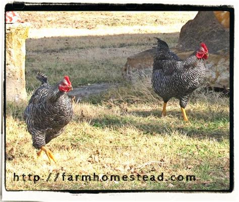 backyard chicken laws chicken laws and backyard chickens farm homestead
