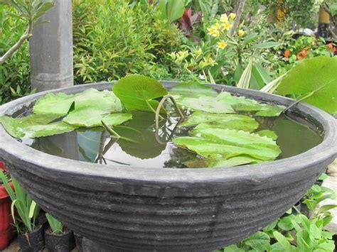 Pupuk Untuk Bunga Teratai mudah cara menanam bunga teratai di dalam pot
