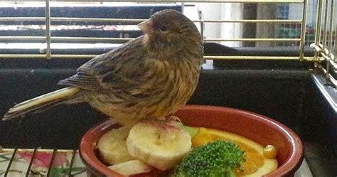 Benelux Primus Pakan Burung Kenari joss menu pakan kenari persiapan sebelum lomba