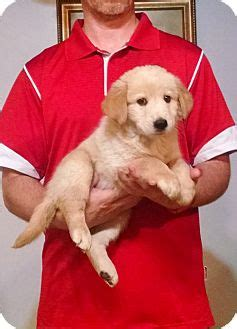 golden retriever rescue philadelphia new philadelphia oh golden retriever labrador retriever mix meet reilly a puppy