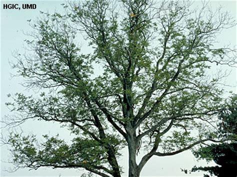 maple tree decline decline trees and shrubs of maryland extension