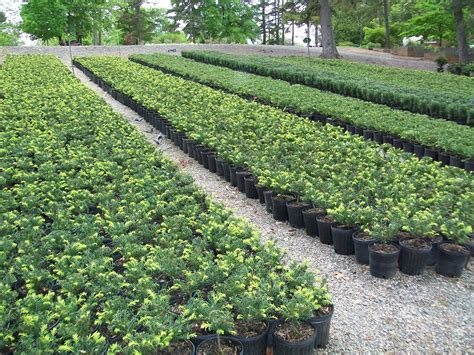 nursery plants why kimicata brothers must cease operations at georgekay road hazelwood rising