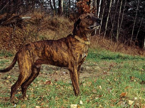 state dogs carolina state plott hound breeds picture