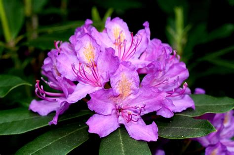 state flower of virginia west virginia rhododendron almost heaven pinterest virginia flower and us states