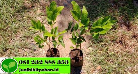 Bibit Pohon Rambutan bibit rambutan archives jual bibit pohon 081232888353