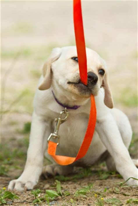 puppy pulling on leash why do we avoid using a leash in thedogtrainingsecret