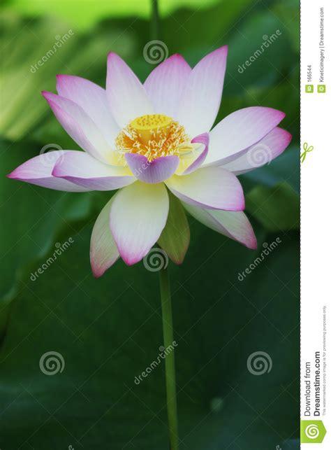 lotus bloom lotus bloom stock images image 166544