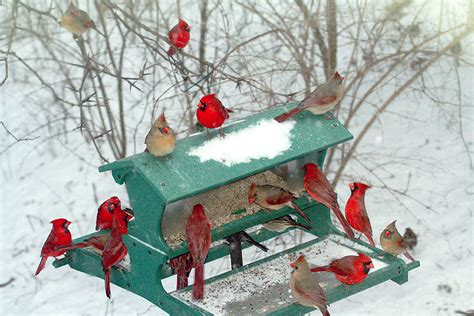 the feeding cardinals pinterest