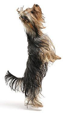 yorkie puppy care guide terrier tips and information yorkie