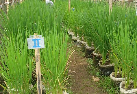 Bibit Lele Grobogan menanam padi di polybag hasil panennya bagus lho jitunews