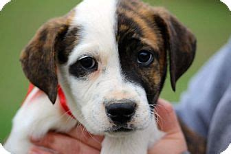 golden retriever american bulldog mix glastonbury ct american bulldog golden retriever mix meet vixen a puppy for adoption