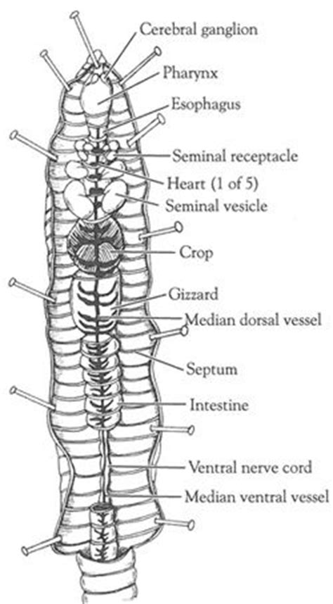 earthworm dissection pictures open versus closed circulatory system dissection of the crayfish and earthworm carolina