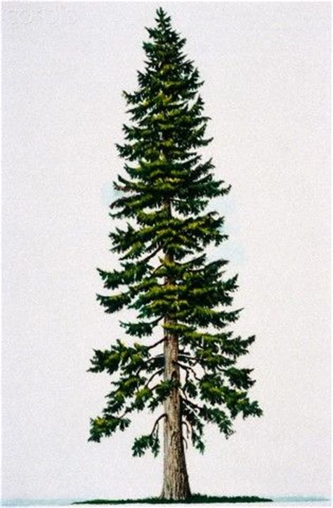 douglas fir tattoo 25 best ideas about douglas fir tree on
