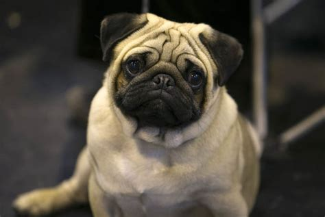 popular pug names names by breed dogtime