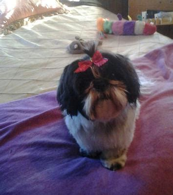 shih tzu allergy symptoms shih tzu skin allergies breeds picture