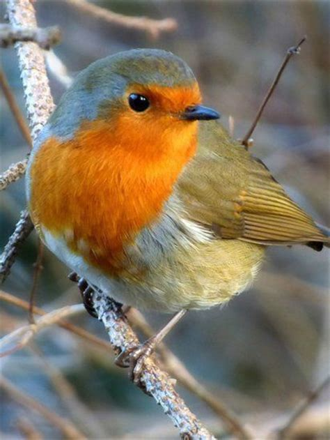 best 25 red robin bird ideas on pinterest robin