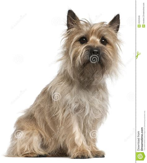 Brindle Cairn Haircut | brindle cairn haircut cairn terrier work all day night