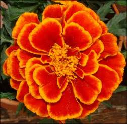 List Of Fall Flowers by The Organic Gardener List Of Autumn Flowers
