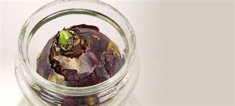 Hyazinthe Im Glas Ziehen by Hyazinthen Im Glas Ziehen Hilfreiche Tipps