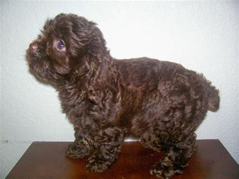 teacup cockapoo puppies for sale puppies for sale cockapoo teacup mini cockapoos and cavapoos f category