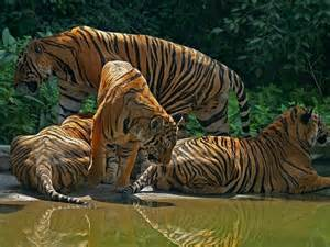 Tiger Family Hd