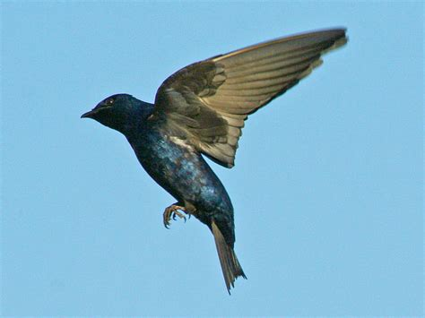 swallow purple martin information for kids