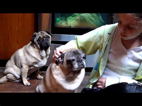 diabetes in pugs rescue pugs thurston forever foster blind diabetic addisons pug rescue of new