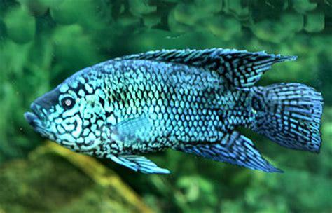 Electric Blue Bigsize electric blue dempsey cichlid blue dempsey fish guide rocio octofasciatu