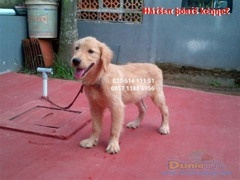 golden retriever big bone dunia anjing jual anjing golden retriever anakan golden retriever big bone