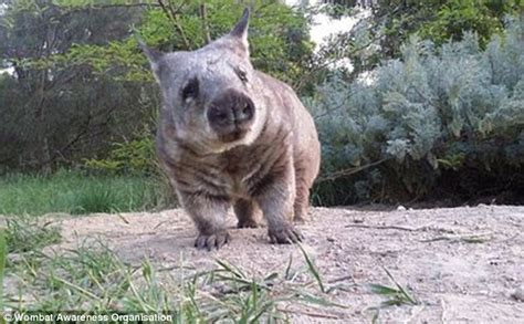 Be Gentle With Me Wombat My Blogtalkradio pearl the wombat smothers carer with kisses in flaxley