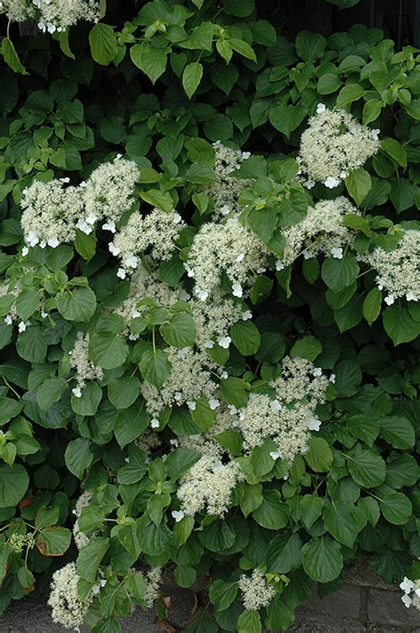 climbing hydrangea hydrangea anomala var petiolaris in minneapolis st paul twin cities