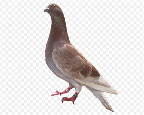 Harga Pakan Burung Merpati jenis jenis burung merpati hias di indonesia yang sedang