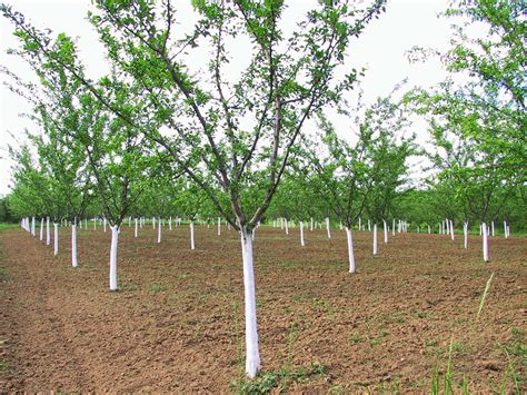 tree problems plum tree problems what to do when a plum tree fails to