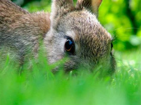 how to get rid of rabbits in your backyard how to get rid of rabbits both in winter and in summer 7 proven control methods and tips