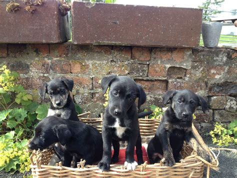 borador puppies for sale borador puppies for sale west calder west lothian pets4homes