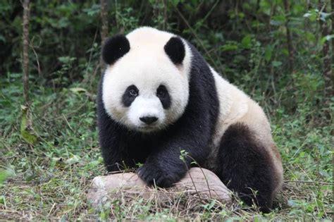fotos de grupo panda բելգիայի վարչապետը դիմավորեց չինական արջին orer news site