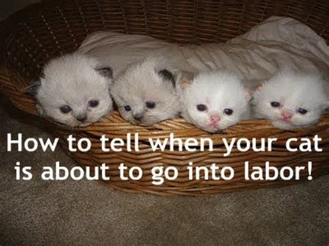 signs your is in labor cat labor signs
