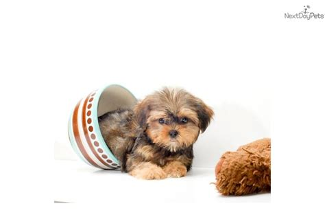 yorkie chihuahua mix puppies craigslist yorkie poodle mixed puppies mer 8jpg breeds picture