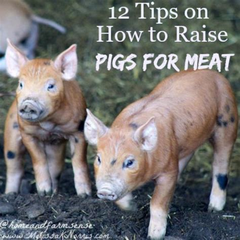 12 Tips On How To A Date 20 by Are You Thinking Of Raising Pigs This Year Here Are 12