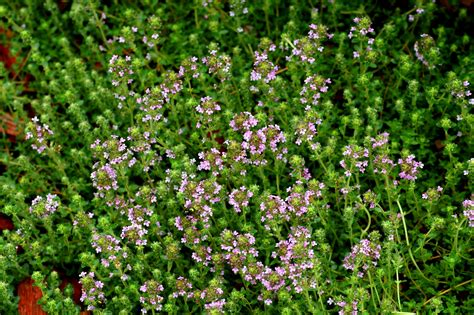Kitchen Herb Garden Design types of creeping thyme plants caraway wooly etc