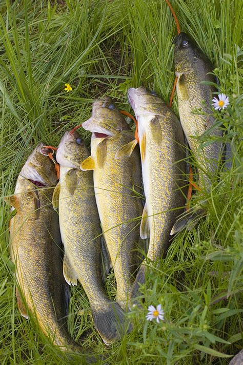 String Fish - a string of freshly walleye fish photograph by skip