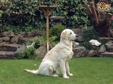 house trained dogs for sale golden retriever house trained newcastle under lyme