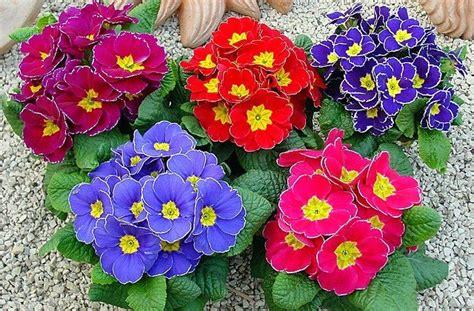 la primula fiori primula la dell inverno da vedere facile