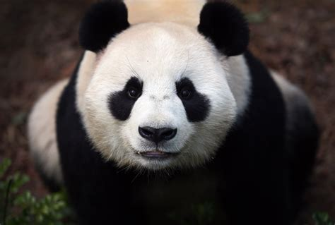 wallpaper hd panda panda 4k wallpaper hd wallpapers