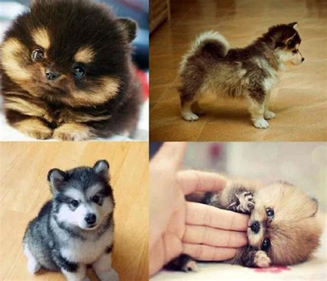 miniature husky pomeranian mix pomeranian husky mix for sale wolves pomeranian husky and