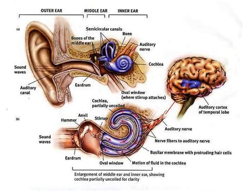sections of the ear psychology gre studyblue