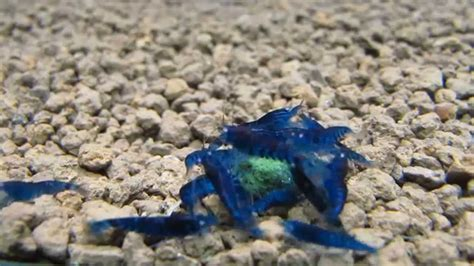 Ppj Royal Blue mvi 4543 blue tiger shrimp orange